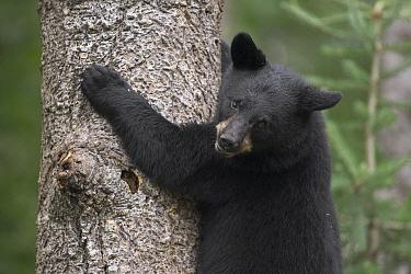 Black Bear (Ursus americanus) cub in tree safe from danger, Orr, Minnesota  -  Matthias Breiter