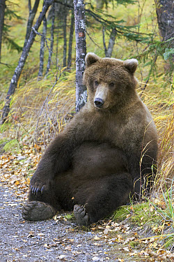 Grizzly Bear (Ursus arctos horribilis) adult female resting in the late fall, Katmai National Park, Alaska  -  Matthias Breiter