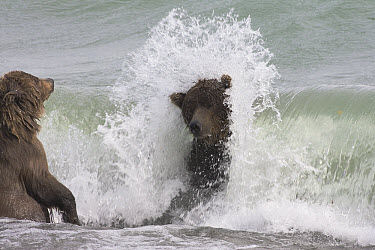 Grizzly Bear (Ursus arctos horribilis) adult female and yearling cub searching for spawned-out salmon along lake shore in fall during storm, Katmai National Park, Alaska  -  Matthias Breiter