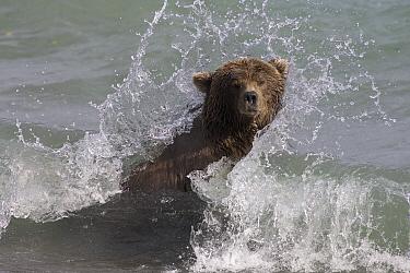Grizzly Bear (Ursus arctos horribilis) adult female searching for spawned-out salmon along lake shore during fall storm, Katmai National Park, Alaska  -  Matthias Breiter