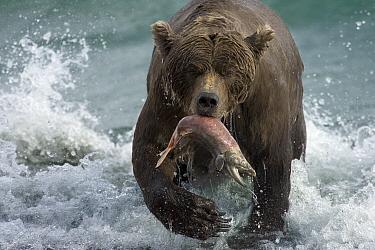 Grizzly Bear (Ursus arctos horribilis) female with a spawned-out salmon along lake shore during fall storm, Katmai National Park, Alaska  -  Matthias Breiter