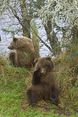 Grizzly Bear (Ursus arctos horribilis) two yearling cubs sitting, Katmai National Park, Alaska  -  Matthias Breiter