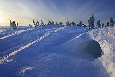 Polar Bear (Ursus maritimus) temporary maternity den in snow drift, Canada  -  Matthias Breiter