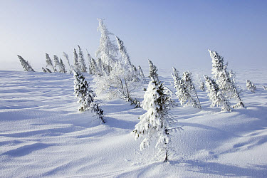 White Spruce (Picea glauca) covering a rise on the edge of a frozen lake Along the tundra-taiga ecotone isolated White Spruce cling on to live along lake shores, North America  -  Matthias Breiter