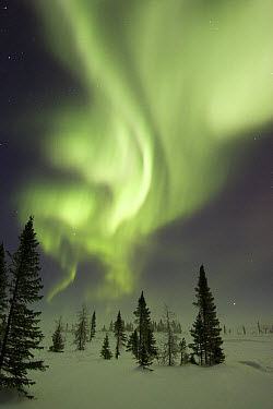 Northern lights or aurora borealis over frozen tundra and isolated White Spruce (Picea glauca) boreal forest, North America  -  Matthias Breiter