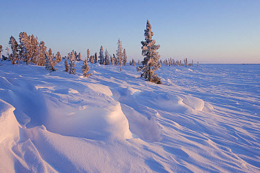White Spruce (Picea glauca) the evening sun illuminates a stand on the edge of a frozen lake Along the tundra-taiga ecotone, isolated White Spruce cling to life along lake shores, North America  -  Matthias Breiter