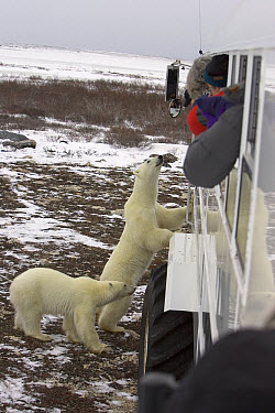 Polar Bear (Ursus maritimus) juvenile males inspecting tundra buggy with tourists in arctic tundra, Canada  -  Matthias Breiter