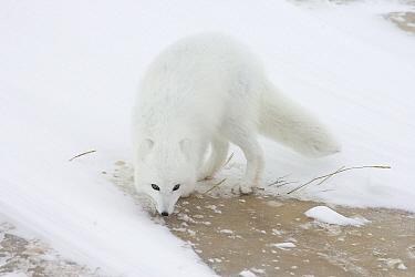 Arctic Fox (Alopex lagopus) searching for food along Hudson Bay coast, Canada  -  Matthias Breiter
