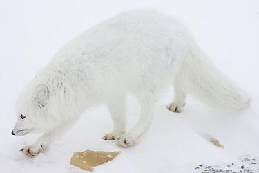 Arctic Fox (Alopex lagopus) along Hudson Bay Coast, Canada  -  Matthias Breiter