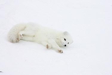 Arctic Fox (Alopex lagopus) rolling in snow in arctic tundra, Canada  -  Matthias Breiter