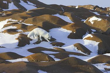Arctic Fox (Alopex lagopus) traveling across rocks on Hudson Bay coast, Canada  -  Matthias Breiter