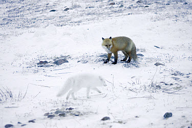 Red Fox (Vulpes vulpes) and Arctic Fox (Alopex lagopus) feeding on food scraps on arctic tundra, Manitoba, Canada  -  Matthias Breiter