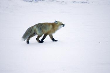Red Fox (Vulpes vulpes) following scent trail in arctic tundra, Canada  -  Matthias Breiter