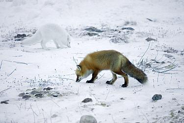 Red Fox (Vulpes vulpes) and Arctic Fox (Alopex lagopus) feeding on food scarps in arctic tundra, Canada  -  Matthias Breiter