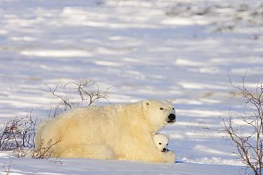 Polar Bear (Ursus maritimus) female with twelve week old cub, Canada  -  Matthias Breiter