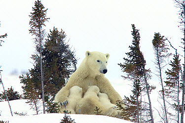 Polar Bear (Ursus maritimus) trio of three month old cubs nursing on resting mother amid white spruce, vulnerable, Wapusk National Park, Manitoba, Canada  -  Matthias Breiter