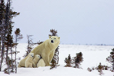 Polar Bear (Ursus maritimus) trio of three month old cubs and mother among white spruce, vulnerable, Wapusk National Park, Manitoba, Canada  -  Matthias Breiter