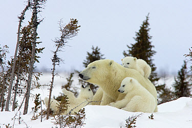 Polar Bear (Ursus maritimus) trio of three month old cubs and mother among white spruce, cubs playing and climbing on mother, vulnerable, Wapusk National Park, Manitoba, Canada  -  Matthias Breiter