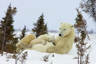 Polar Bear (Ursus maritimus) trio of three month old cubs nursing on mother among white spruce, vulnerable, Wapusk National Park, Manitoba, Canada  -  Matthias Breiter
