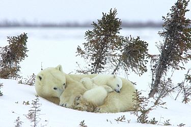 Polar Bear (Ursus maritimus) trio of three month old cubs and mother sleeping among white spruce, vulnerable, Wapusk National Park, Manitoba, Canada  -  Matthias Breiter