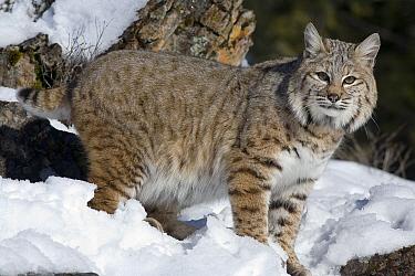 Bobcat (Lynx rufus) in the snow, Kalispell, Montana  -  Matthias Breiter