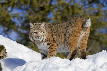 Bobcat (Lynx rufus) in the snow showing bobbed tail, Kalispell, Montana  -  Matthias Breiter