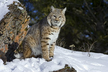 Bobcat (Lynx rufus) sitting in the snow, Kalispell, Montana  -  Matthias Breiter