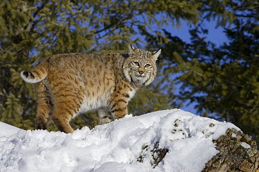 Bobcat (Lynx rufus) in the snow with bobbed tail visible, Kalispell, Montana  -  Matthias Breiter