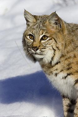 Bobcat (Lynx rufus) portrait in snow, Kalispell, Montana  -  Matthias Breiter