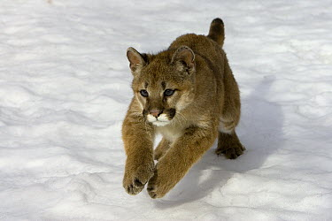 Mountain Lion (Puma concolor) cub in the snow, Kalispell, Montana  -  Matthias Breiter