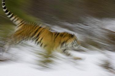 Siberian Tiger (Panthera tigris altaica) running, captive, Kalispell, Montana  -  Matthias Breiter