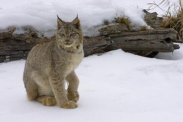 Canada Lynx (Lynx canadensis) sitting in the snow, Kalispell, Montana  -  Matthias Breiter
