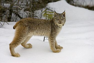Canada Lynx (Lynx canadensis) in the snow, Kalispell, Montana  -  Matthias Breiter