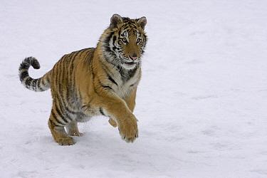 Siberian Tiger (Panthera tigris altaica) leaping in snow, endangered, Kalispell, Montana  -  Matthias Breiter