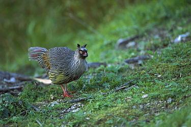 Blood Pheasant (Ithaginis cruentus) adult on ground, Shaanxi Province, China  -  Xi Zhinong