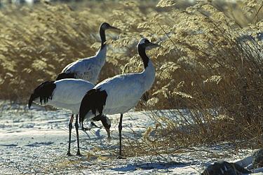 Red-crowned Crane (Grus japonensis) three standing on snowy ground, Zhalong Nature Reserve, Heilongjiang Province, China  -  Xi Zhinong