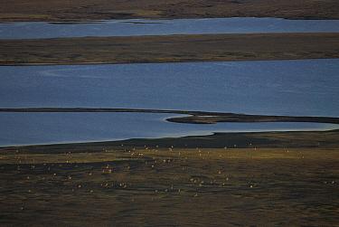 Chiru (Pantholops hodgsonii) females grazing in the landscape, Kekexili, Qinghai Province, China  -  Xi Zhinong