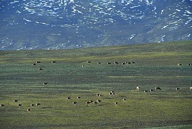 Chiru (Pantholops hodgsonii) pregnant females migrating to the birth site, Kekexili, Qinghai Province, China  -  Xi Zhinong