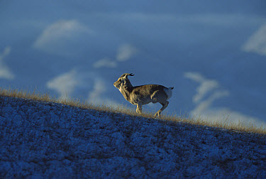 Przewalski's Gazelle (Procapra przewalskii) running on grassy, snow covered ground with mountains in the background, near Qinghai Lake, Qinghai Province, China  -  Xi Zhinong
