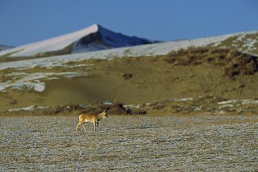 Przewalski's Gazelle (Procapra przewalskii) walking on grassy, snow covered ground with mountain in the background near Qinghai Lake, Qinghai Province, China  -  Xi Zhinong