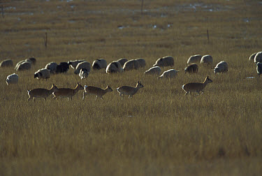 Przewalski's Gazelle (Procapra przewalskii) herd running in grassland near domestic sheep, near Qinghai Lake, Qinghai Province, China  -  Xi Zhinong