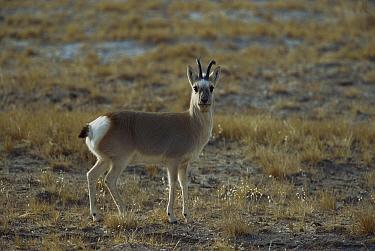 Mongolian Gazelle (Procapra gutturosa) alert adult standing in open grassland, Kekexili, Qinghai Province, China  -  Xi Zhinong