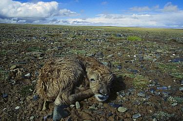 Chiru (Pantholops hodgsonii) newborn calf on the ground, Kekexili, Qinghai Province, China  -  Xi Zhinong