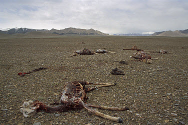 Chiru (Pantholops hodgsonii) carcasses of animals killed by poachers for their valuable fur, Arjin Mountain Nature Reserve, Xinjiang, northwestern China  -  Xi Zhinong