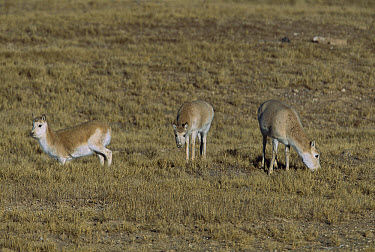Chiru (Pantholops hodgsonii) three females grazing, Kekexili, Qinghai Province, China  -  Xi Zhinong