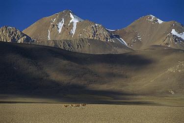 Chiru (Pantholops hodgsonii) small herd of four females walking across barren plain with mountains behind, Ari, Tibet  -  Xi Zhinong