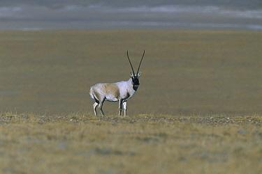 Chiru (Pantholops hodgsonii) male standing in open grassland, Kekexili, Qinghai Province, China  -  Xi Zhinong
