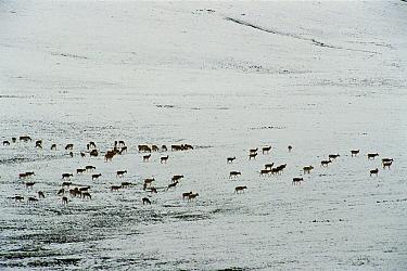 Chiru (Pantholops hodgsonii) herd of females grazing and traveling across snowy landscape, Kekexili, Qinghai Province, China  -  Xi Zhinong