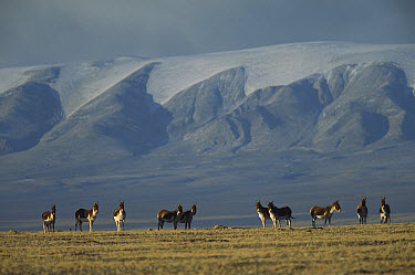 Tibetan Wild Ass (Equus hemionus kiang) herd standing alert on grassy plain, Kekexili, Qinghai Province, China  -  Xi Zhinong