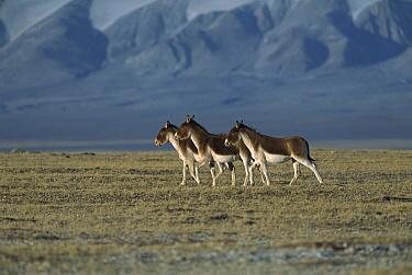 Tibetan Wild Ass (Equus hemionus kiang) three walking on grassy plain, Kekexili, Qinghai Province, China  -  Xi Zhinong